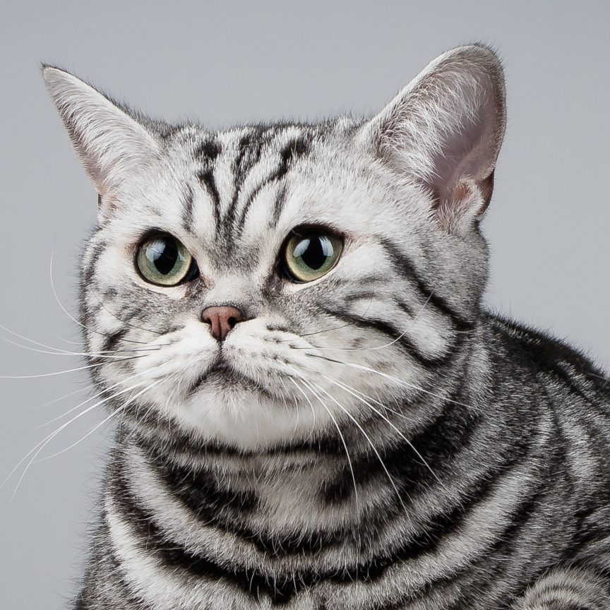 Kattfotografering